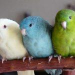Где купить воробьиного попугая?